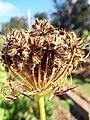 Starr-131216-2787-Daucus carota subsp sativus-seedhead-Hawea Pl Olinda-Maui (24597844874).jpg