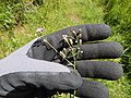 Starr-140909-1800-Cyanthillium cinereum-flowers-Wailua-Maui (25152778361).jpg
