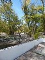 Starr-150328-0990-Sesbania grandiflora-habit-Midway Mall Sand Island-Midway Atoll (25245073706).jpg