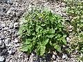Starr-150401-0087-Solanum americanum-habit-Frigate Pt Sand Island-Midway Atoll (25245911996).jpg