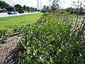 Starr-160718-0263-Chrysobalanus icaco-hedge-Vitas Healthcare Delray Beach-Florida (29557330122).jpg