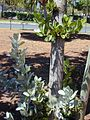 Starr 010330-0599 Conocarpus erectus.jpg
