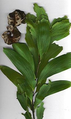 Starr 031013-8001 Acacia auriculiformis.jpg