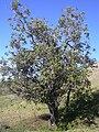 Starr 031111-0057 Nestegis sandwicensis.jpg