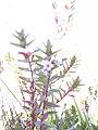 Starr 040214-0081 Lythrum maritimum.jpg