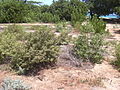 Starr 040613-0024 Myoporum sandwicense.jpg