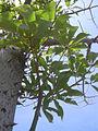 Starr 040812-0023 Ceiba pentandra.jpg