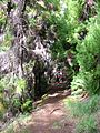 Starr 041221-1875 Cryptomeria japonica.jpg