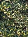 Starr 070221-4880 Albizia lebbeck.jpg