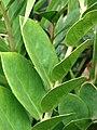 Starr 070906-8550 Zamioculcas zamiifolia.jpg