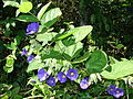 Starr 071024-0360 Thunbergia battiscombei.jpg