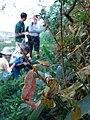 Starr 080304-3179 Syzygium jambos.jpg