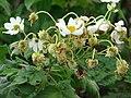 Starr 081230-0653 Montanoa hibiscifolia.jpg