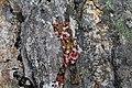 Steinbrech an den Felsen des Beinn Bheag Dheas.jpg