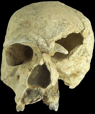Steinheim skull - Replica of H. steinheimensis skull. Note that the skull's brow ridges and slope of the forehead are not visible from this front angle.