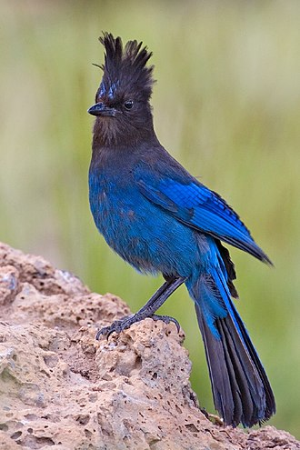 Cuyamaca Rancho State Park - Steller's jay