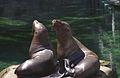 Steller Sea Lions(Vancouver)06(js).jpg