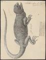 Stellio vulgaris - 1700-1880 - Print - Iconographia Zoologica - Special Collections University of Amsterdam - UBA01 IZ12700077.tif