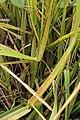 Stem Rust - Puccinia graminis on Tall Fescue - Festuca arundinacea (44822605574).jpg