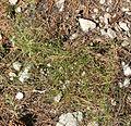 Stephanomeria tenuifolia 1.jpg