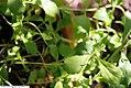Stevia rebaudiana 4zz.jpg