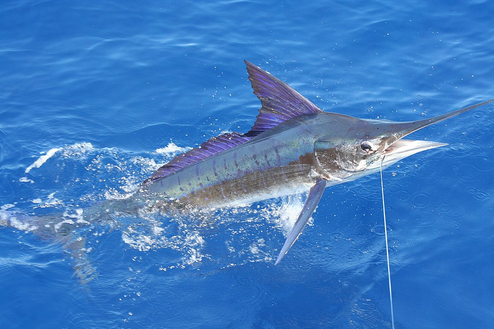 Stripe marlin right off the coast of Carrillo