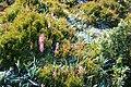 Stylidium graminifolium 2.jpg