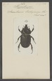 Stypotrupes - Print - Iconographia Zoologica - Special Collections University of Amsterdam - UBAINV0274 021 06 03 0032.tif
