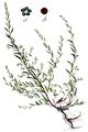Suaeda maritima - Flora Batava V5-388.png