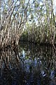 Submerged Melaleuca forest - protected wetland ecosystem 01.jpg