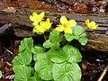 Sumpf-Dotterblume vor Totholz.JPG
