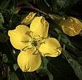 Suncup Primrose, camissonia ovata (27543590598).jpg