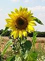 Sunflower - geograph.org.uk - 522253.jpg