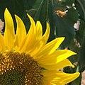 Sunflower and Bee (33190665976).jpg