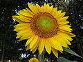 Sunflowers for Wishes, flower, Connecticut.jpg