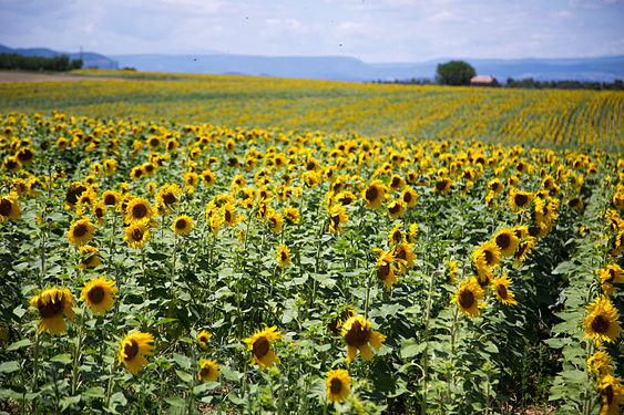 Sunflowers outside Aix-en-Provence.jpg