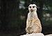 Suricata suricatta qtl5.jpg