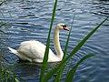 Swan Lake England.jpg