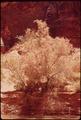 TAMARISK TREE BESIDE THE ESCALANTE RIVER - NARA - 544912.tif