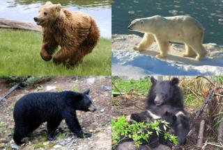 <i>Ursus</i> (genus) Genus of mammals (bears)