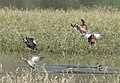 TEAL, CINNAMON (9-7-11) patagonia lake state park, scc, az -05 (6125422250).jpg