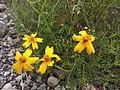 Tagetes linifolia.jpg