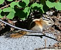 Tamias sp, probably T. speciosus (Lodgepole Chipmunk) (14688842511).jpg