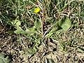Taraxacum serotinum sl95.jpg