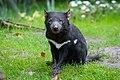 Tasmanian Devil (33295981294).jpg