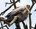 Tawny Eagle, Serengeti.jpg