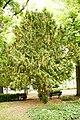 Taxus-baccata 12-18-B WLE2020 Denis-Apel 7.jpg