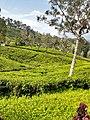 Tea plants in Hatton pathana.jpg