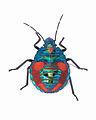 Tectocoris diophthalmus (Thunberg) (Hemiptera- Scutelleridae) - hibiscus harlequin bug (nymph) - dorsal view.jpg
