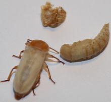 Mehlwürmer Bekämpfung mehlkäfer